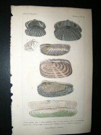Cuvier C1835 Antique Hand Col Print. Shells #39